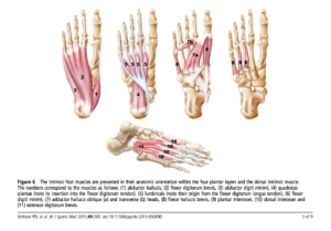Intrinsic plantar foot muscles. Credit: McKeon et al., 2014